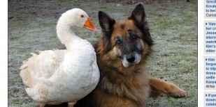 """凶暴だったシェパードが保護施設で雌のガチョウと出会って""""犬""""が変わったように穏やかな性格に - IRORIO(イロリオ)"""