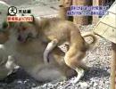 飼い主が他の犬を可愛がってた時、飼い犬の反応で最も多いのは…… ‐ ニコニコ動画:GINZA