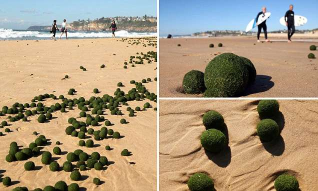Where did the green 'alien eggs' come from? Scientists baffled by UFOs (Unidentified Floating Objects) that washed up on a Sydney beach | Daily Mail Online