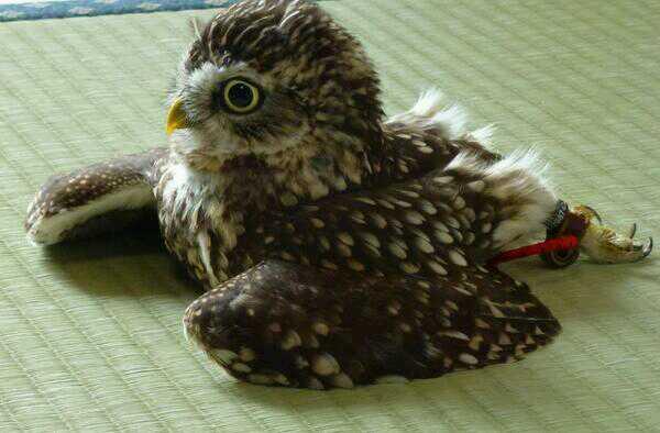 畳の上で寛ぐフクロウの姿をご覧ください