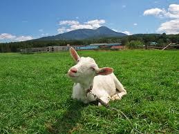 「ヤギで除草」今年はさらに2団地で 住人の要望相次ぐ