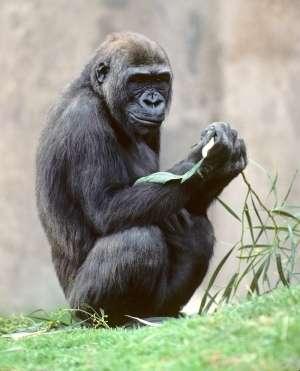 ゴリラと人は98.25%同じ!チンパンジーは98.73%!大型類人猿の全遺伝情報(ゲノム)解析!|Jokeness Sharmillett