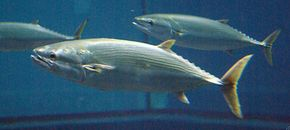 葛西臨海水族園のクロマグロ連続死の水槽 新たに投入したスマが6日間で12匹死亡
