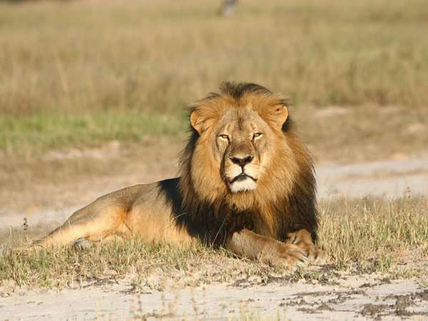 Dentist Who Killed Cecil The Lion Writes Apology To Patients