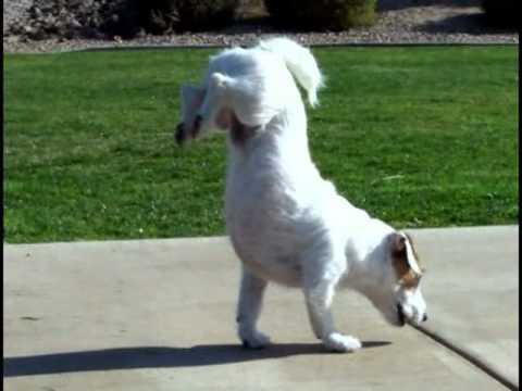 "World's Smartest Dog Jesse performs Amazing Dog Tricks ""Walking Hand Stand Dog"" - YouTube"