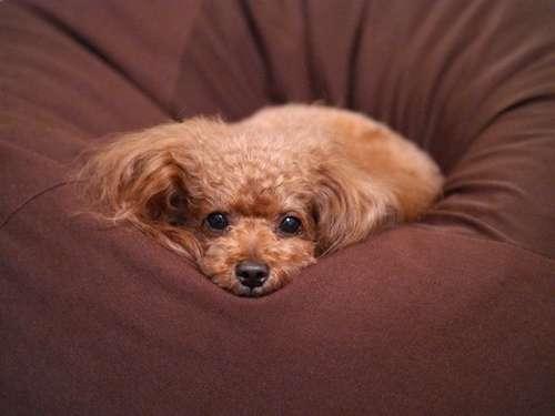「人をダメにするソファ」が犬をダメにした結果→やっぱり人がダメになりそうなくらいかわええ…