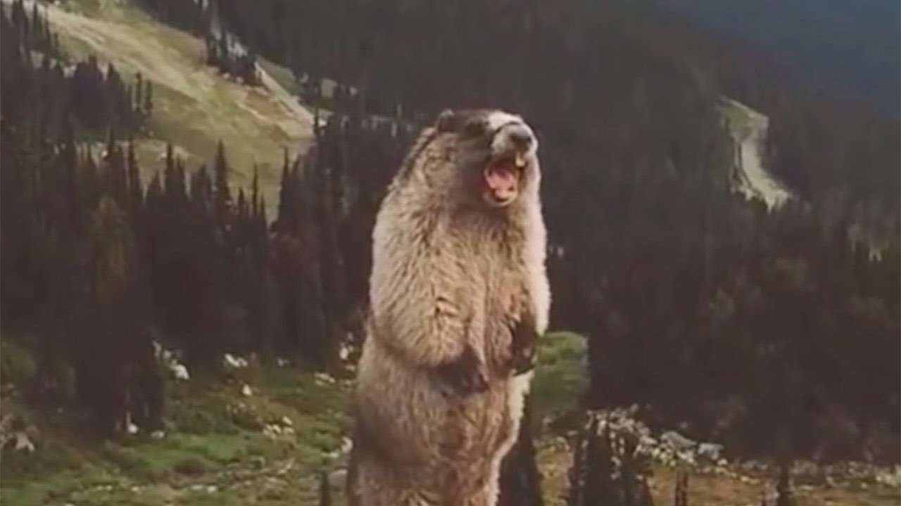 The screaming marmot - YouTube