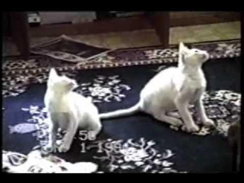 Japanese cat CM /アイシア 黒缶 金缶 純缶 猫の王国 2006 - YouTube