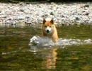 柴犬ジロー 2009初泳ぎ - niconico