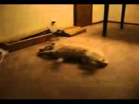犬も夢の中で走ってます...爆笑 - YouTube