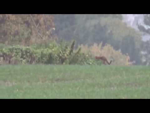 Look at the size of that Giant wild cat prowling in Warwickshire - YouTube