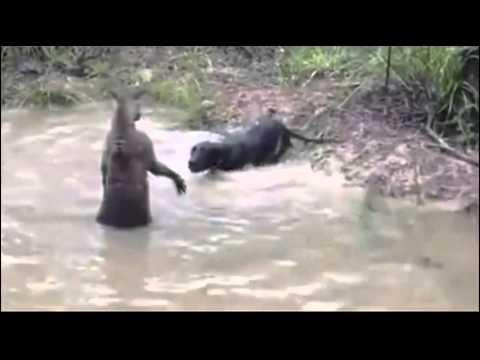 Kangaroo vs Dog Fight [FULL Attack] - YouTube