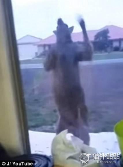 【恐怖】ウォーキング・デッドかよ!恐怖の巨大カンガルーついに民家を襲撃する