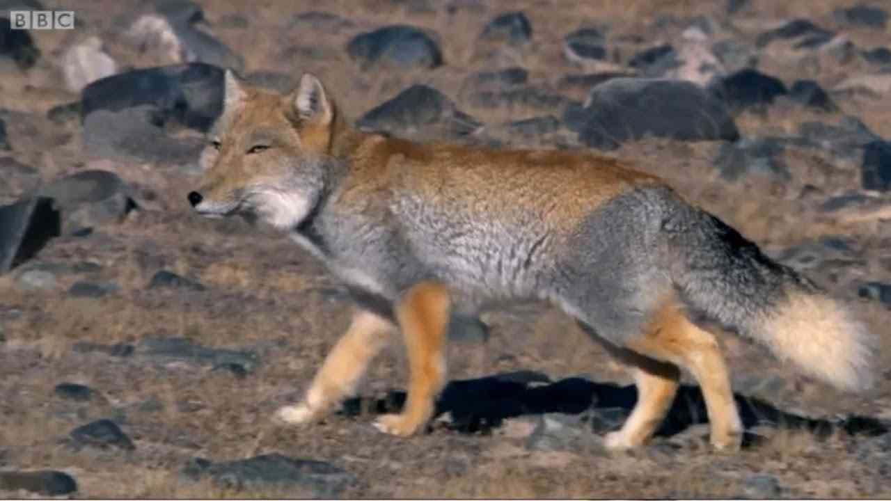 A Tibetan Fox and a Brown Bear hunting Pikas in the Himalayas - YouTube