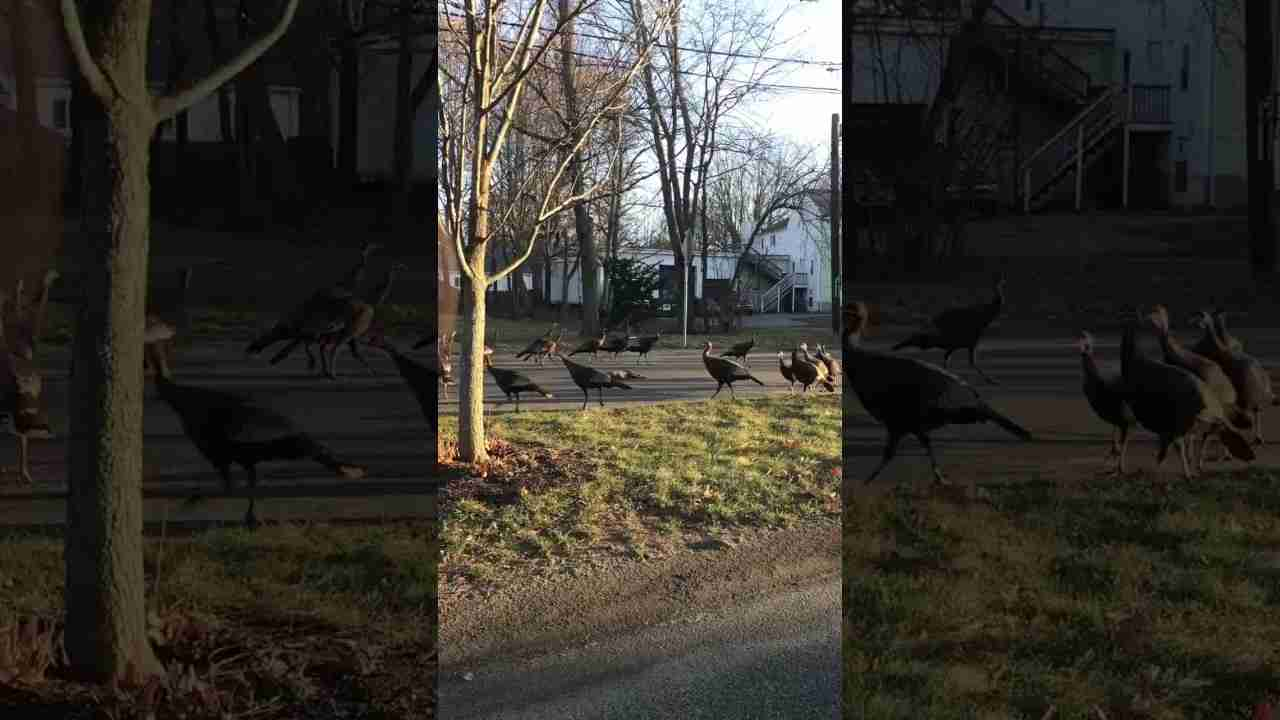 These turkeys trying to give this cat its 10th life - YouTube