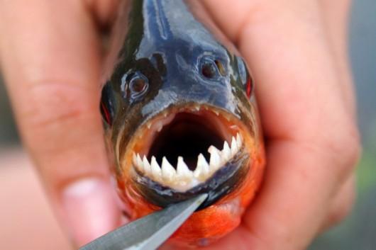 盘点全球令人生畏的怪鱼:水虎鱼捕食同类