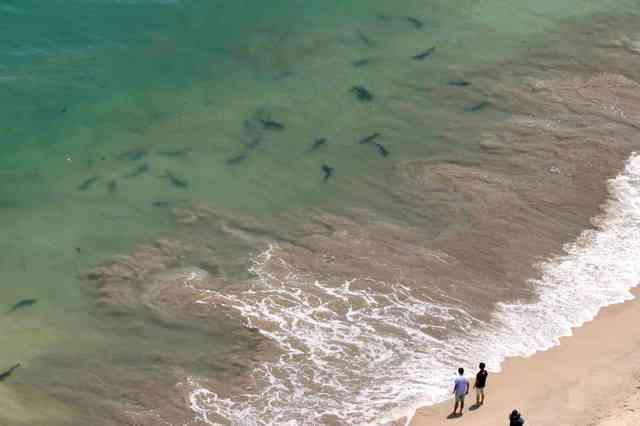 海水浴場でサメ30匹を確認 茨城・日立