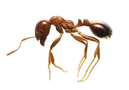 【強毒アリ】根絶に成功、ニュージーランドの専門家の意見も…外来生物の有識者会議設置 神戸市 - 産経WEST