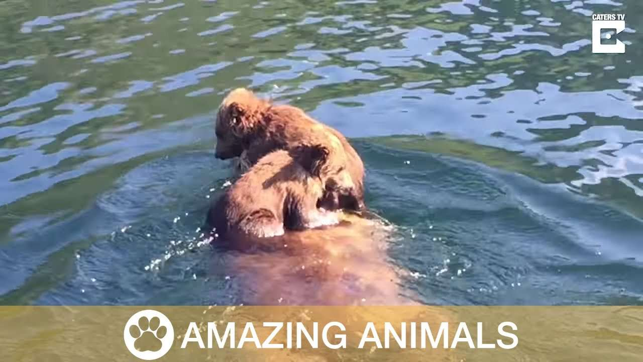 Adorable Bear Cubs Ride On Mother's Back - YouTube