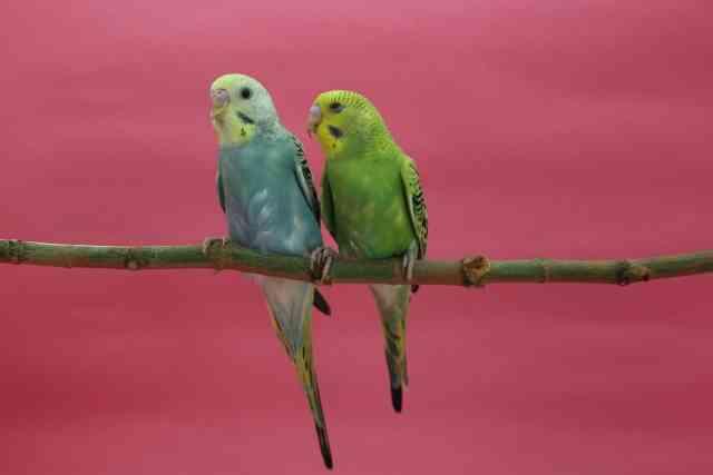 鳥からうつる「オウム病」 妊婦2人死亡…全国で129人が感染、東京・神奈川で多い