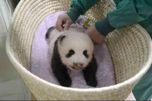 上野動物園の赤ちゃんパンダが生後2ヶ月 順調に成長、上手にハイハイも - BIGLOBEニュース