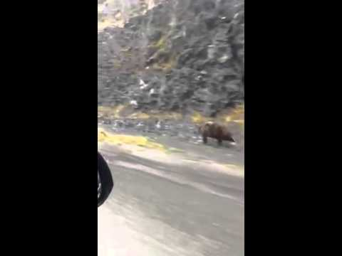Grizzly Bear Tries To Outrun Car - YouTube