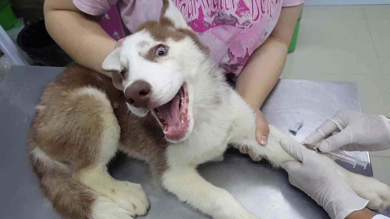 Husky's First Visit to the Vet - YouTube