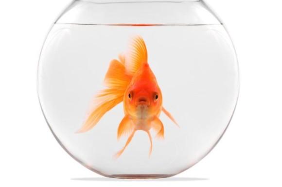 スイスの法律では金魚を1匹で飼うのは違法、モルモットもインコも同様。その理由とは? : カラパイア