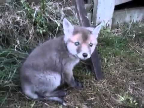 Watch what happens when a man frees a fox cub from a tin can - YouTube