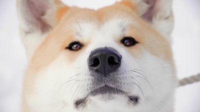 商売のために血統書を偽造するケースも 中国の「ニセ秋田犬」に悩み - ライブドアニュース