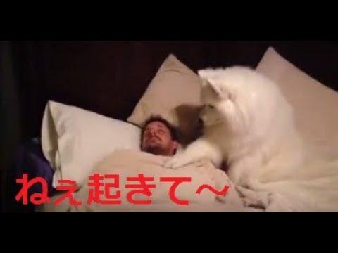【サモエド犬】熟睡中のご主人を優しく起こす大型犬【やっぱり犬が好き】 - YouTube