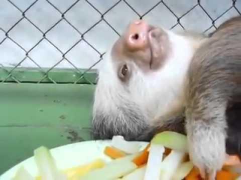 ナマケモノの食事 - YouTube