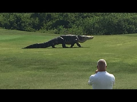 Giant Gator Walks Across Florida Golf Course | GOLF.com - YouTube