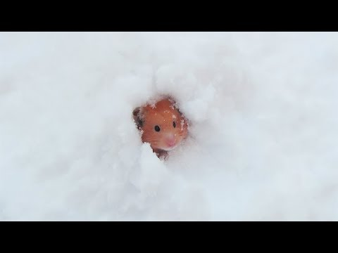ハムスターの雪遊び - YouTube