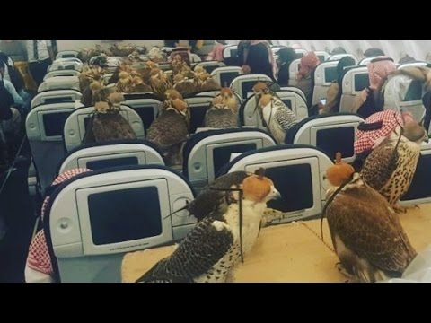 Falcons on Plane: Saudi Prince Buys Airplane Seats to Transport his 80 Falcon Birds - YouTube