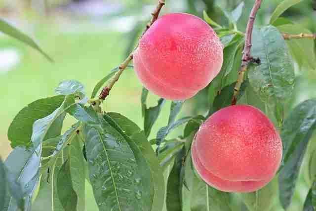 桃は柔らかいだけじゃない!パリっと甘い桃も美味しいよというツイートが話題