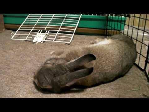 倒れるウサギ - YouTube