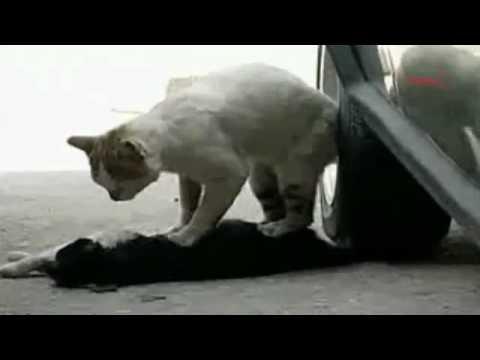 車に当たってしまった雌ネコにマッサージし続ける雄ネコ - YouTube
