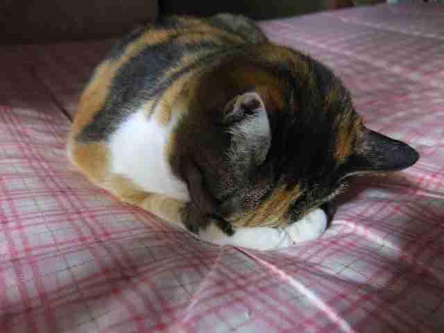 可愛い猫の「ごめん寝」画像を貼ってから寝るトピ