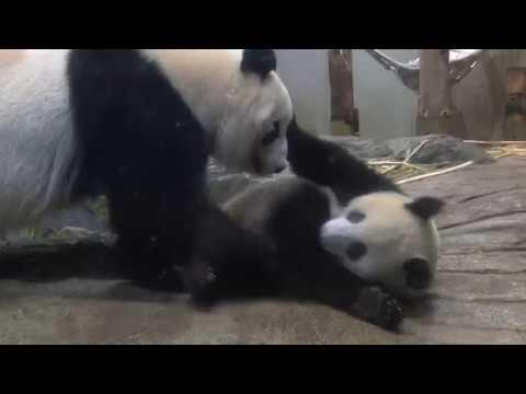 シャンシャン392日齢(2)2018年7月9日撮影 - YouTube