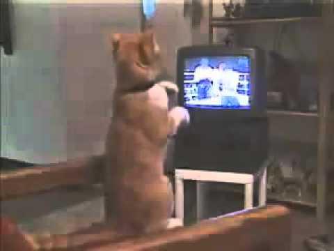 ボクシングを観戦する猫!? - YouTube