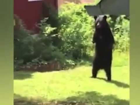 人のような直立二足歩行で歩くアメリカの熊 - YouTube