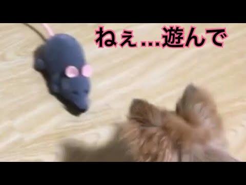 【恐怖のネズミ】猫と犬の生活【ねぇ…遊んで…】Cat and dog Life - YouTube