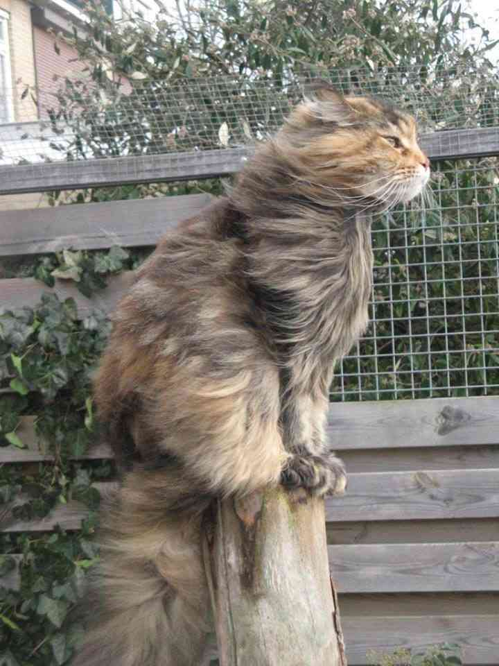 2 girls channel for Koi pond maine coon cattery